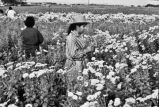Women harvesting flowers for All Soul's Day (Day of the Dead), Darson Persyn's farm, San Antonio,...